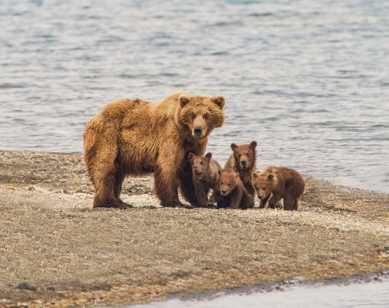 A grizzly bear family of five - a sow and four cubs focus their attention on an incomiing intruder at Katmai National Park, Alaska. Is it a threat?