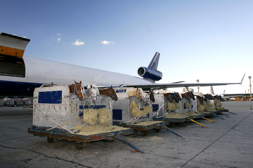 transport chevaux avion