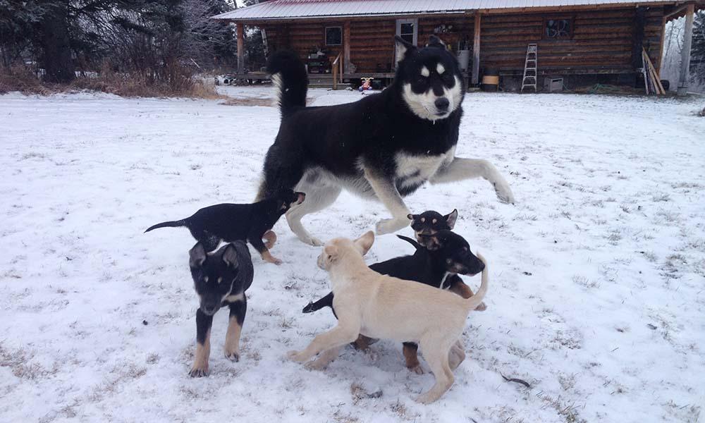 chiens de traineau helpx